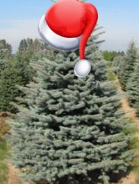 Christmas Trees from deWilde's Wholesale Nursery