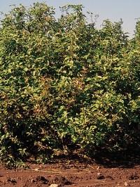 Cornus-Dogwood Plants at deWilde's Wholesale Nursery